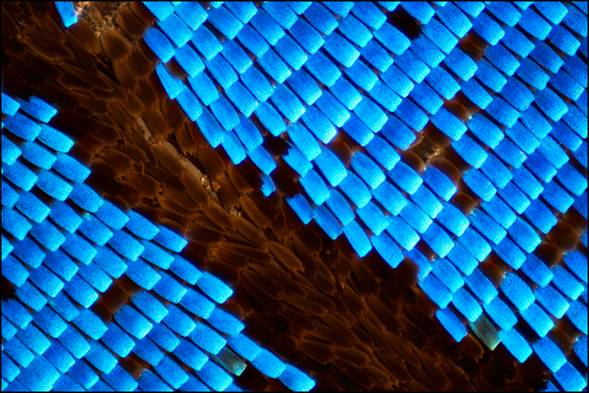 Wing scales of a butterfly, Papilio ulysses