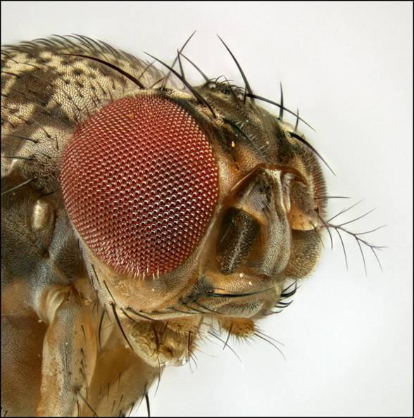 Fruit Fly face, 1.2 mm wide, 167 frames.